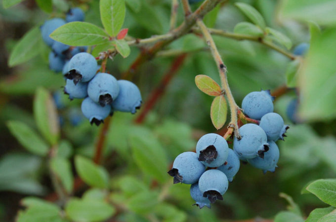 mature wild blueberries growing on the vine