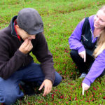 couple crouching on a cranberry bed looking at and tasting the cranberries growing there