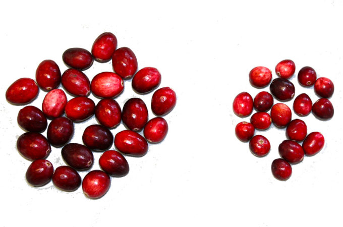 picture showing the size difference between the pilgrim and searles varieties of vaccinium macrocarpon