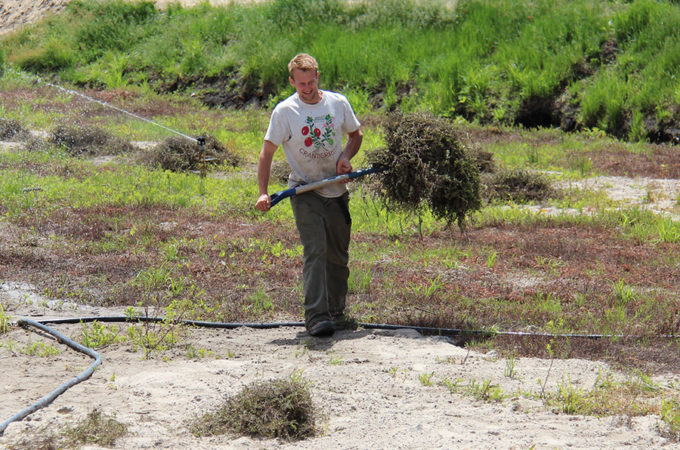 picture of North Johnston carrying cranberry vine cuttings for planting