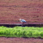 great blue heron with a frog in its beak on a cranberry bed