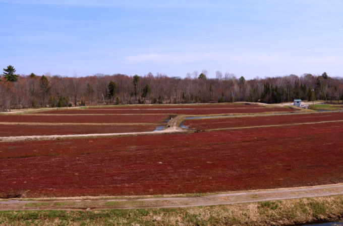 johnston's old marsh cranberry beds with deep burgundy vines