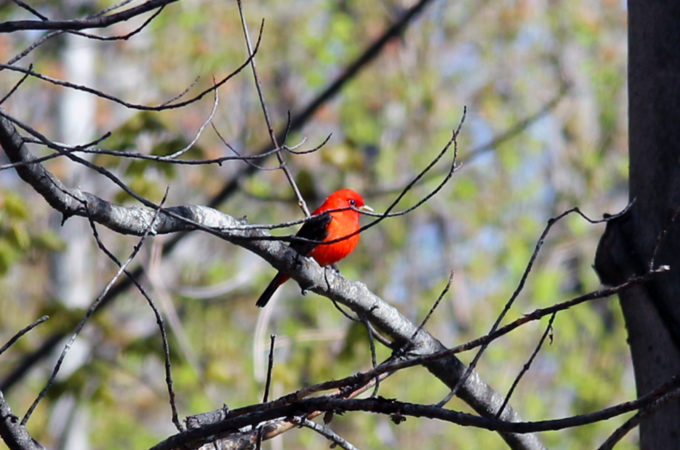 scarlet tanager in a tree