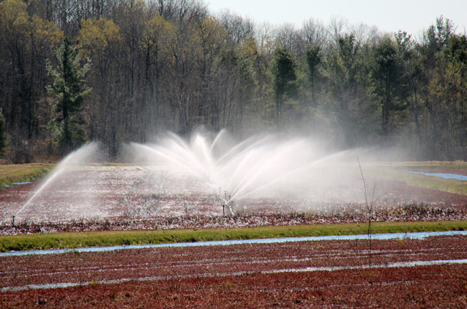 sprinklers running on a cranberry bed