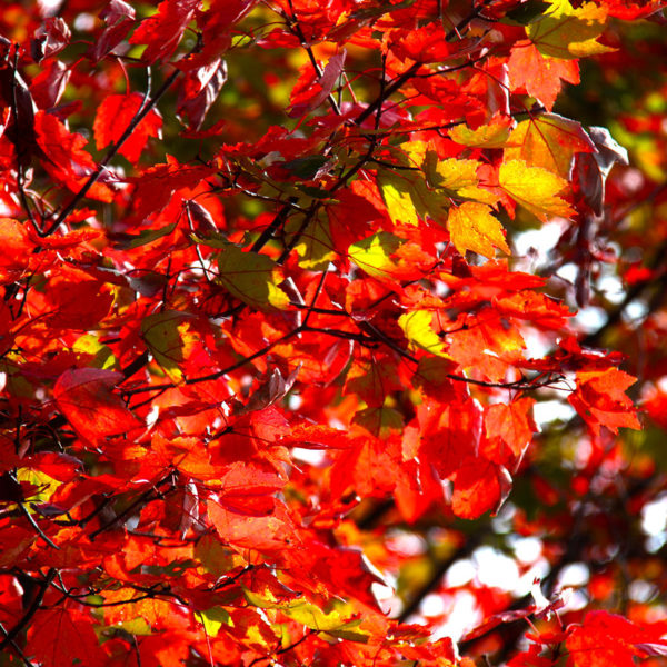 red maple leaves in fall