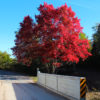 red maple tree by a bridge