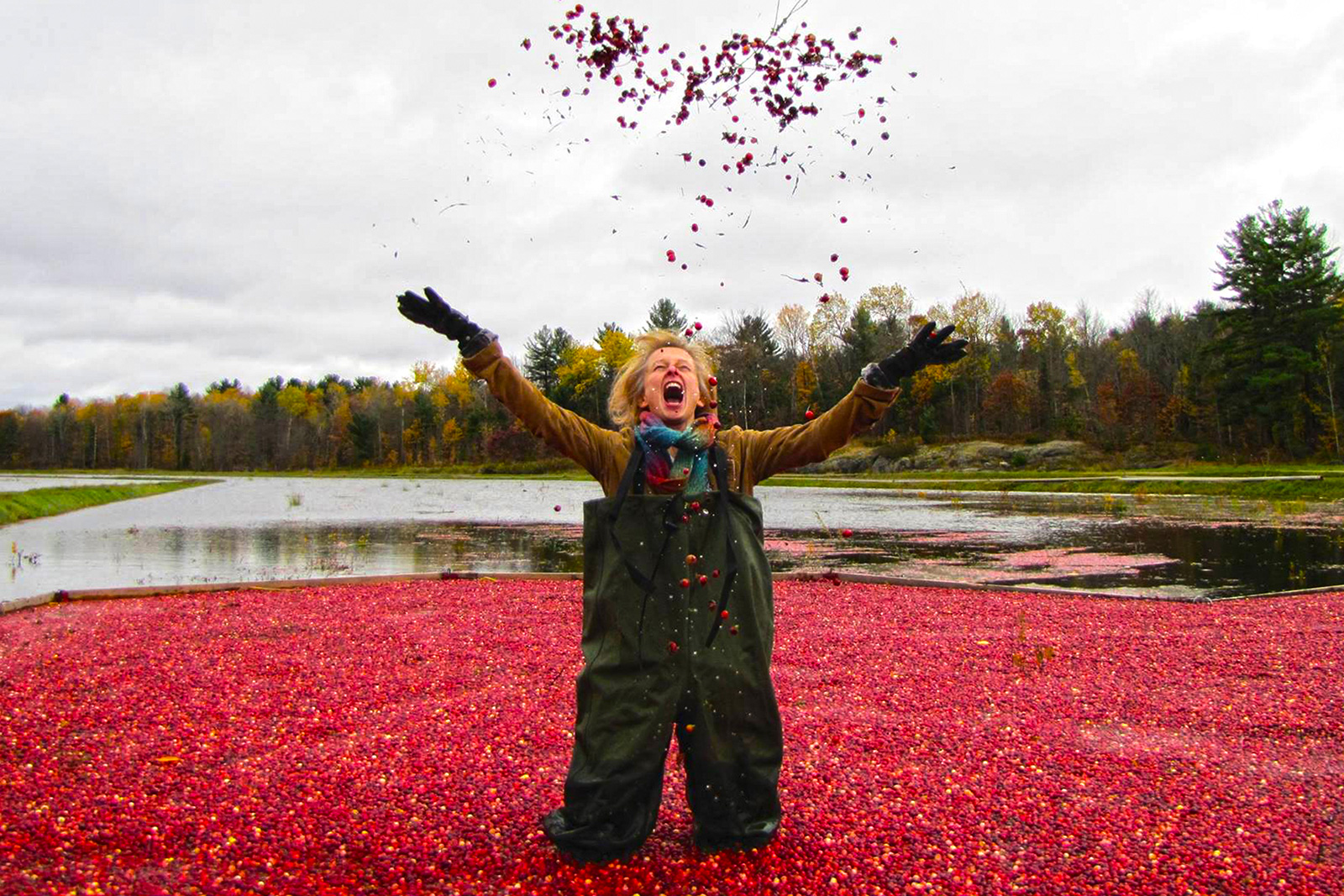 How to pick cranberries in Canada 80
