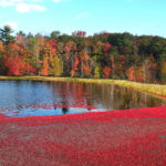 red cranberries floating on a flooded bed in fall