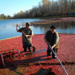 cranberry workers gathering floating cranberries