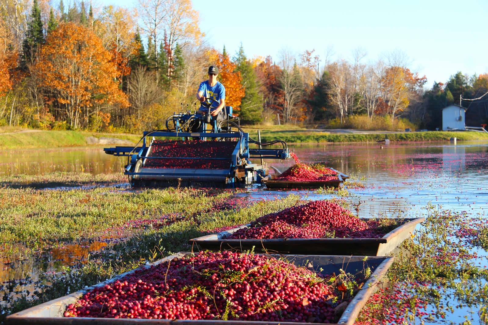 cranberry picker and full cranberry boats in fall