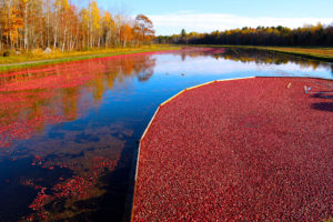 floating cranberries on a flooded bed in fall