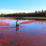 cranberry worker pulling a boom to gather floating cranberries
