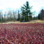 close up of dark burgundy spring cranberry vines