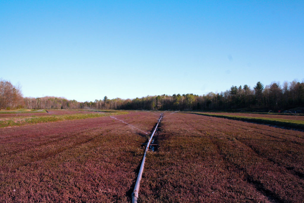 cranberry bed with burgundy vines and irrigation system running