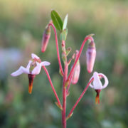 close up of cranberry flowers