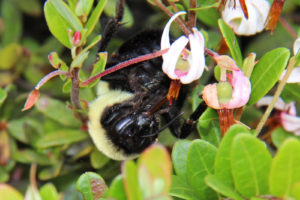 bumble bee on a cranberry blossom