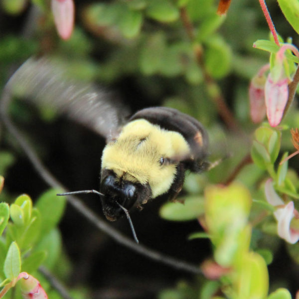 bumble bee flying amid cranberry blossoms