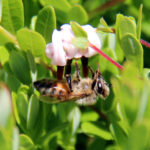 honey bee clinging upside down to a cranberry blossom