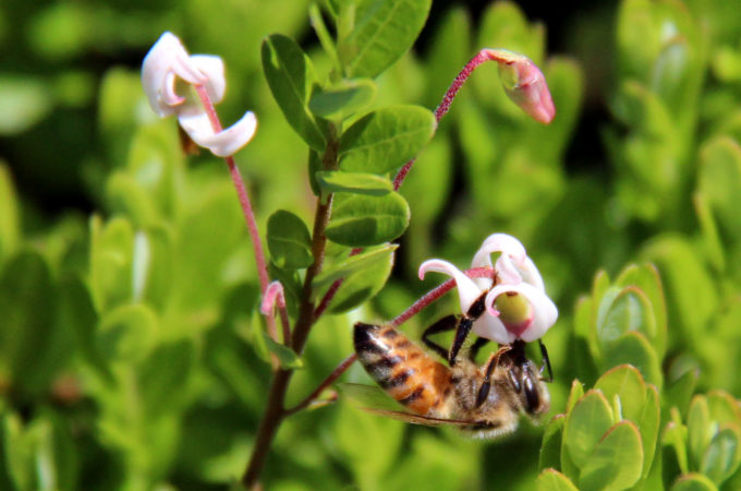 honey bee on a cranberry blossom