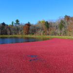 bright red cranberries floating on a flooded bed with fall trees in the background
