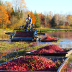 cranberry picker and boats full of cranberries on a flooded bed in fall