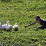 girl feeding four white ducks