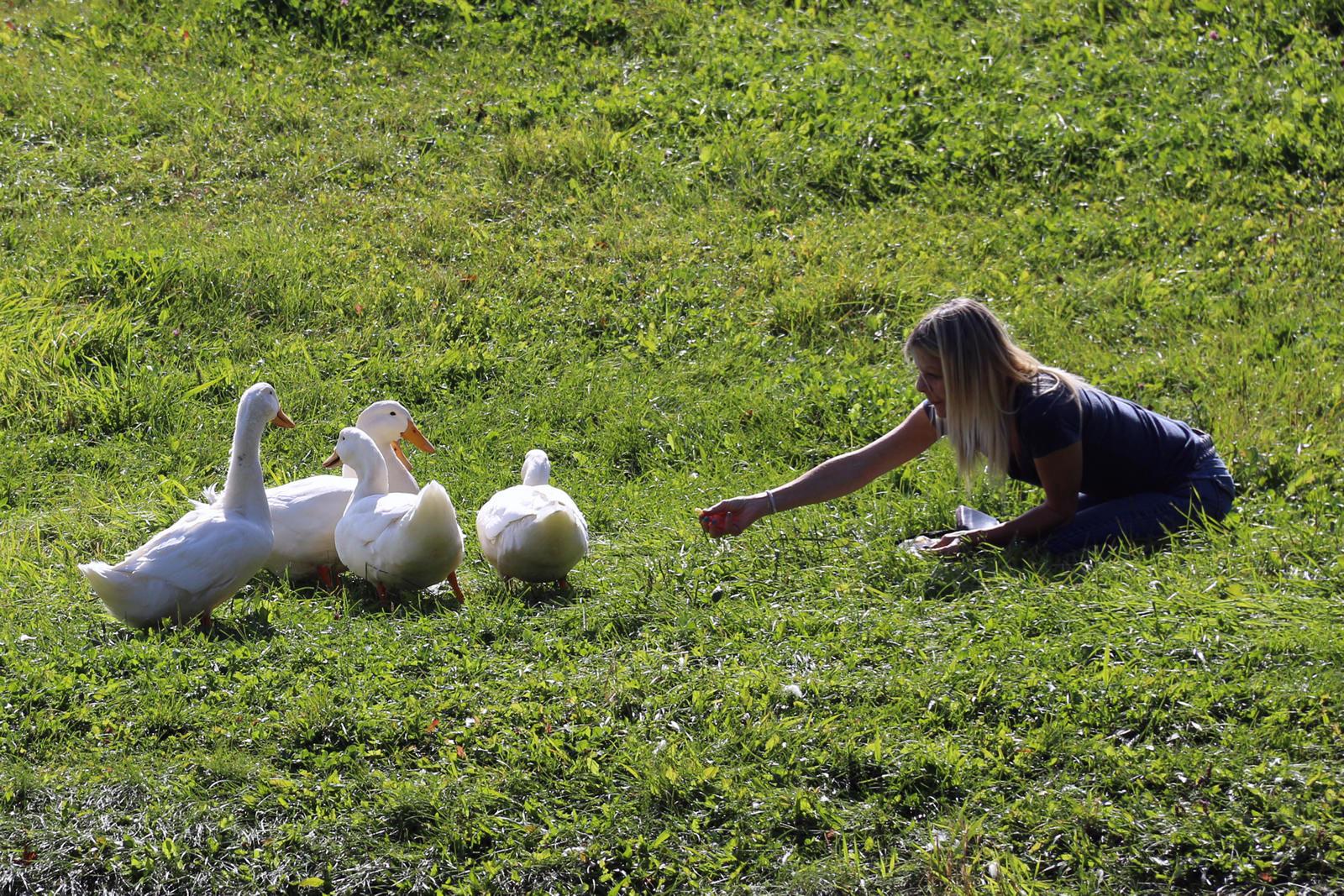 girl feeding four white ducks
