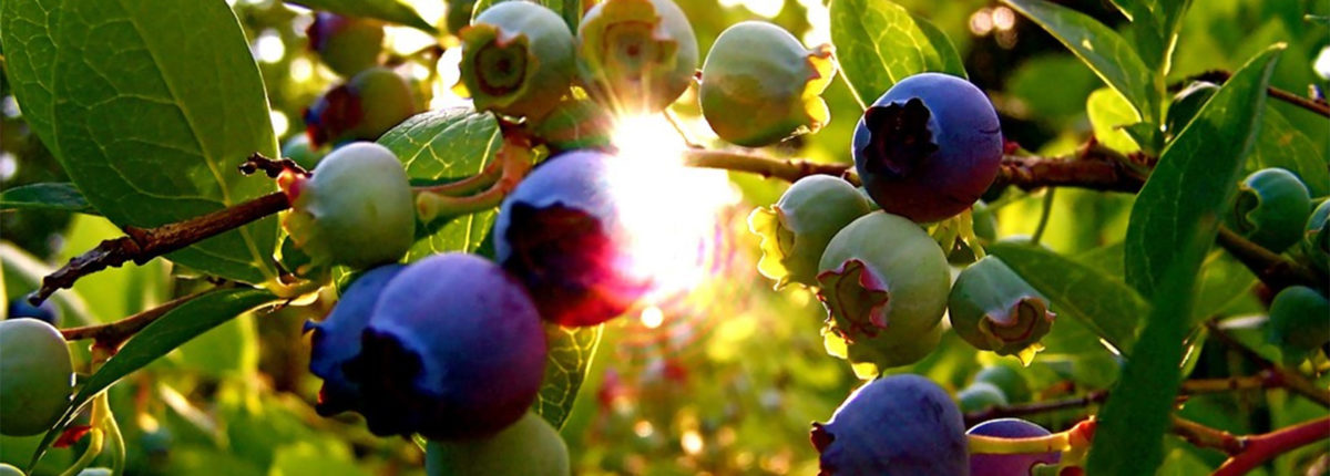 sun shining through ripe blueberries growing on the plant