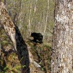 black bear walking in the woods