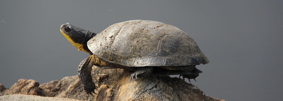 blandings turtle sunning on a rock