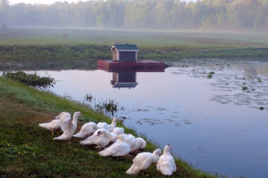 white ducks with duck house in the background on a misty morning