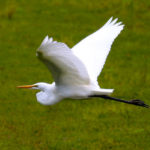image of flying great egret