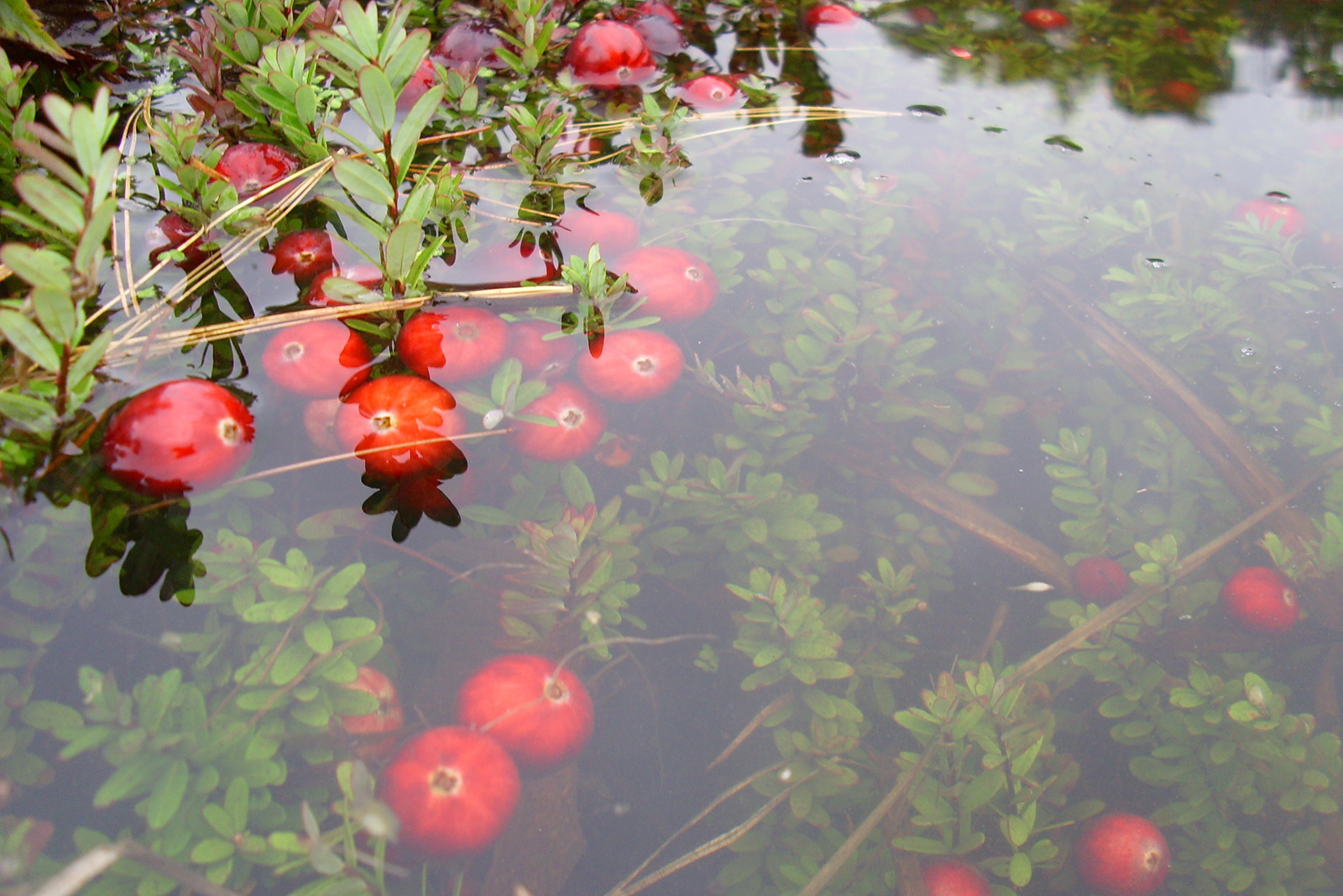 How to pick cranberries in Canada 68