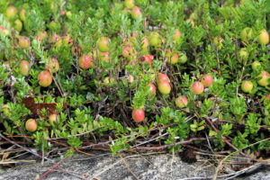 green cranberries turning red growing in vines