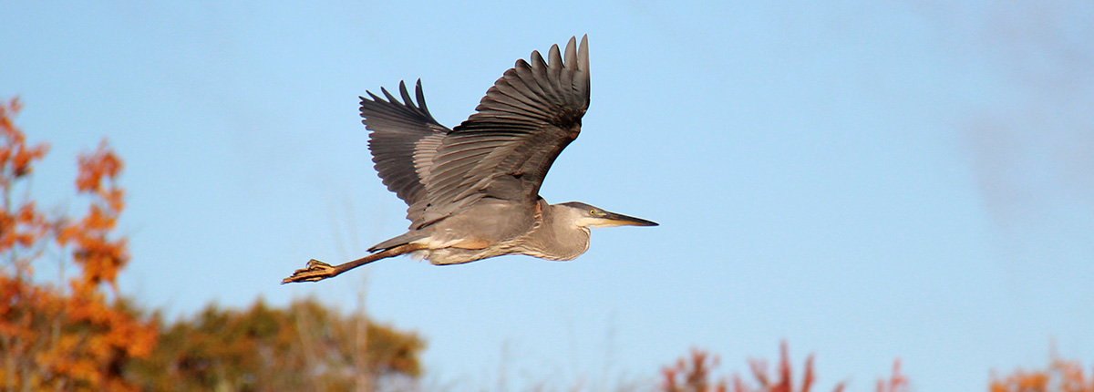 heron flying against a blue sky above fall trees