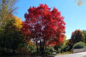 bright red maple tree beside a narrow rural bridge