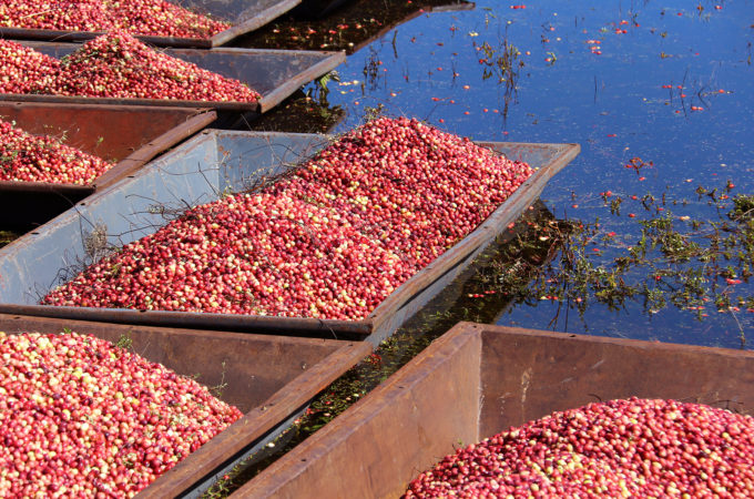 picture of shallow boats full of cranberries floating in water