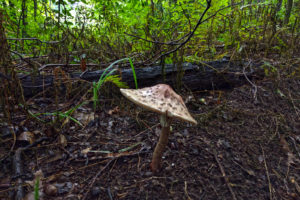 umbrella shaped mushroom growing out of the forest floor