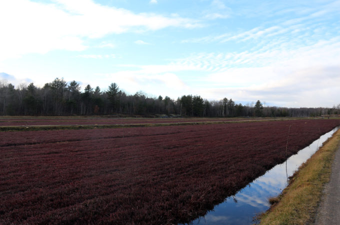 Deep burgundy cranberry vines in fall at Johnston's Cranberry Marsh in Bala, Muskoka, Ontario