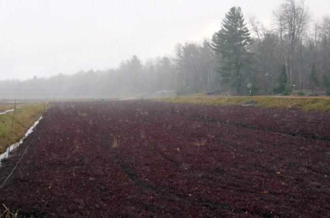 Snow falling on cranberry vines at Johnston's Cranberry Marsh in Bala, Muskoka, Ontario