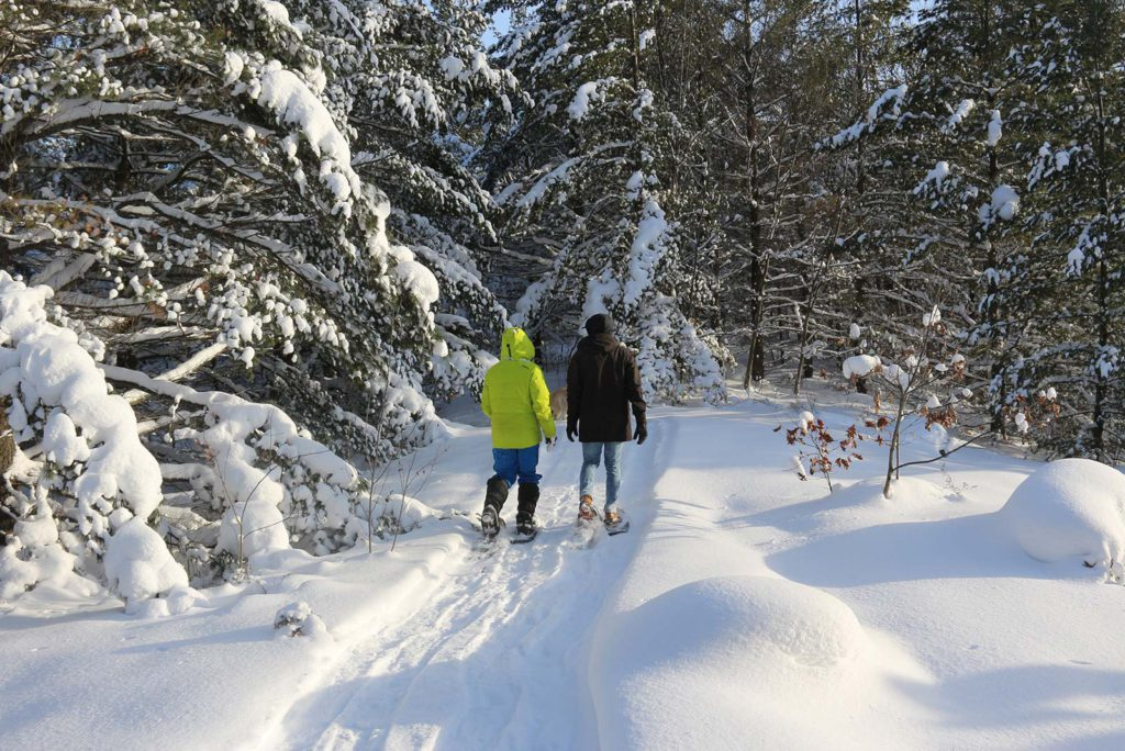 Two people snowshoeing through snow covered pines at Johnston's Cranberry Marsh in Bala, Muskoka, Ontario