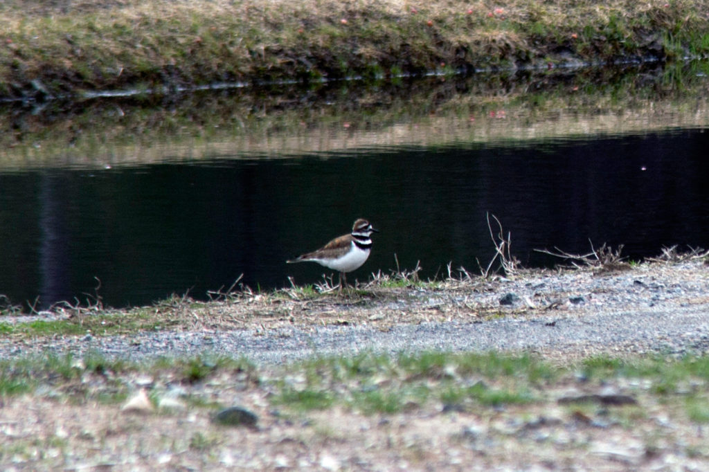 killdeer standing on the ground