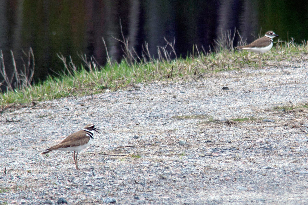 a pair of killdeer standing on the ground