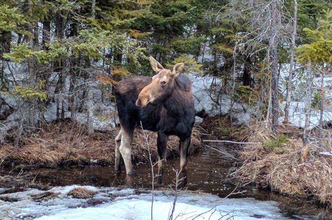 moose cow in snowy swamp