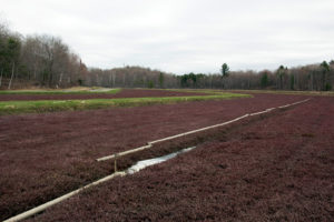irrigation pipe laid out on a cranberry bed