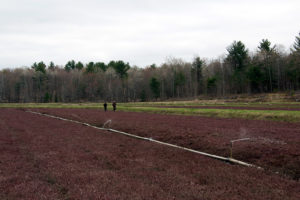 two people walking on a cranberry bed with sprinklers running