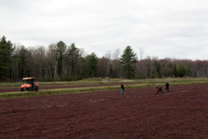 laying irrigation pipe on a cranberry bed