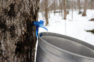 muskoka maple syrup dripping from a spile into a bucket
