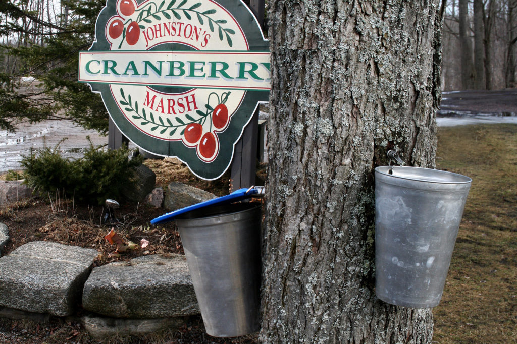 muskoka maple syrup sap buckets on a tree at johnton's cranberry marsh