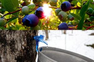 sunlight through blueberries and maple sap dripping into bucket